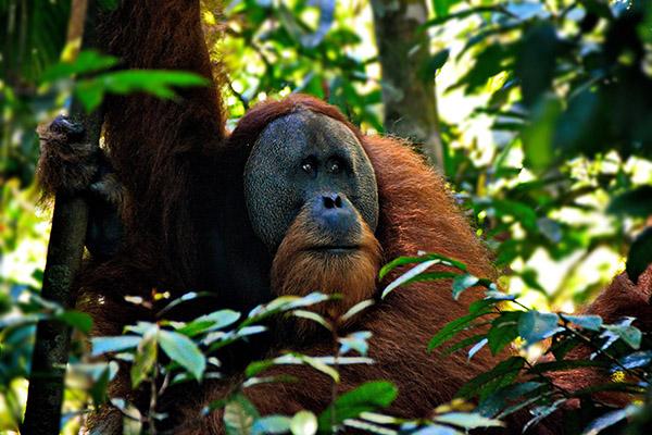 sumatra mentawai